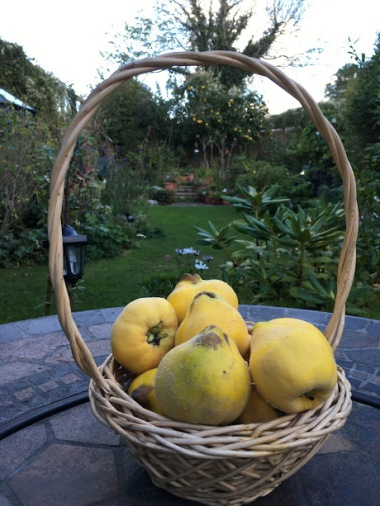 Quince-harvest