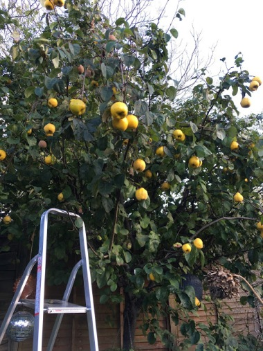 Quince-tree