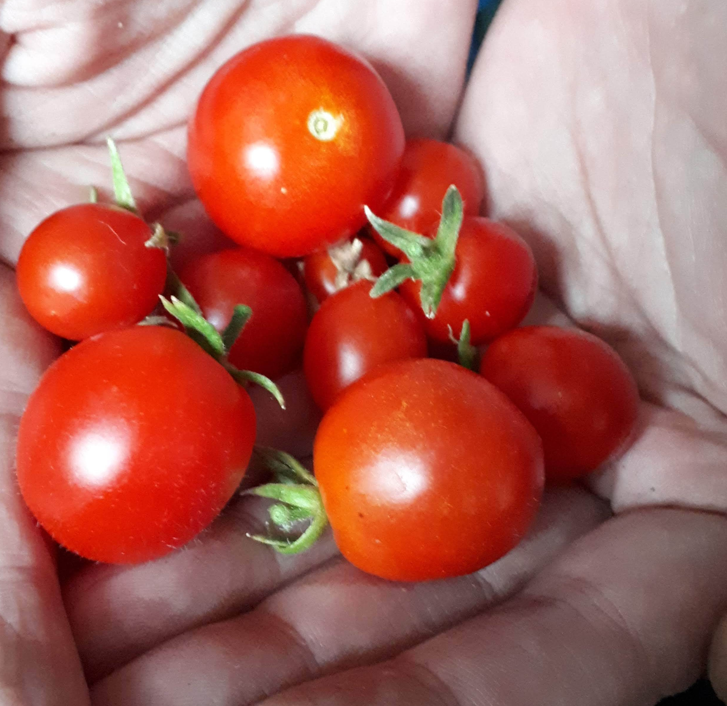 Six on Saturday: Gardeners can't grow tomatoes