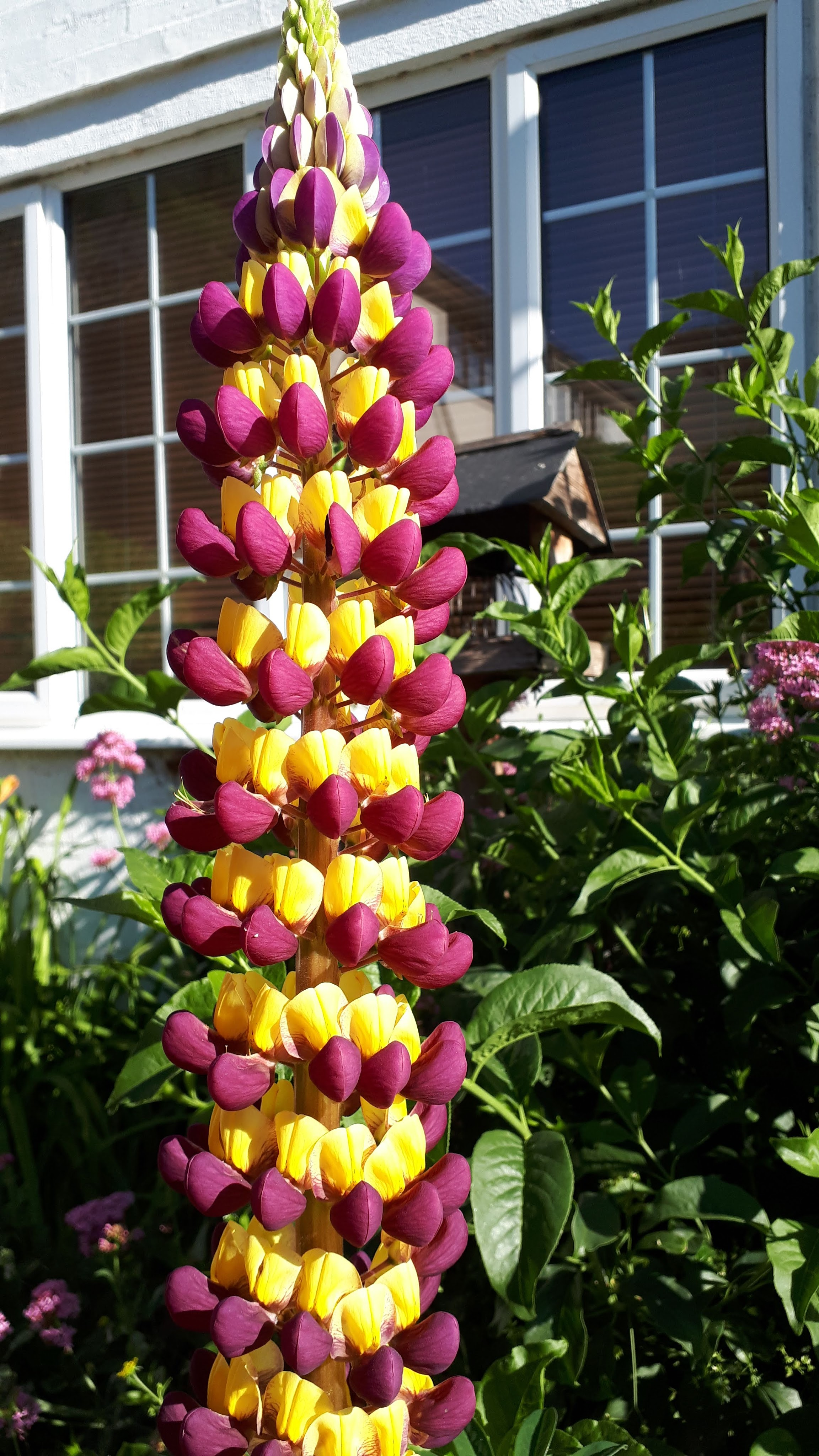 Lupins and more for Six on Saturday