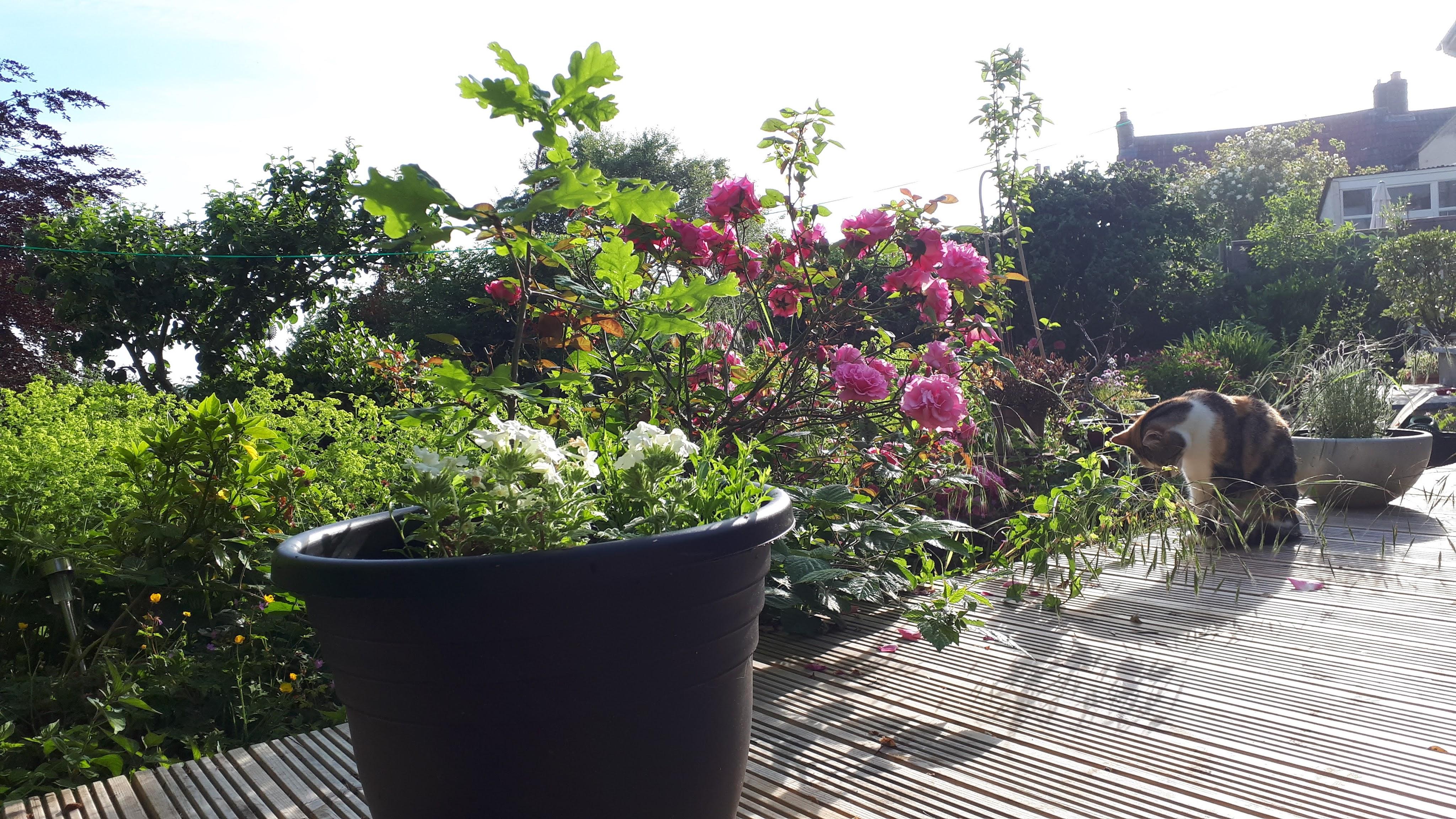 Six on Saturday: Oak moon, roses, daisies, damselflies, alstroemeria and dead bonsai